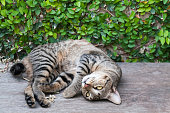 Sleepy tabby cat on the wooden floor ,brown Cute cat, cat lying, playful cat relaxing vacation