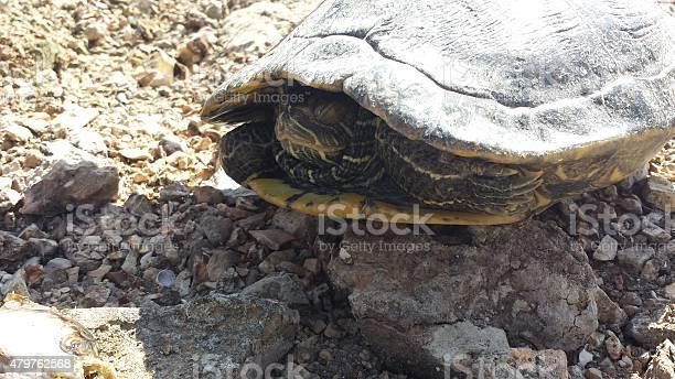 Sleepy turtle picture id479762568?b=1&k=6&m=479762568&s=612x612&h=vuq4immx21mhbpzshidi538junwnzggi txhwcexyym=