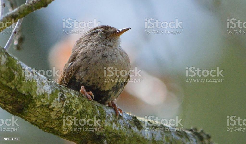 Sleepy Wren royalty-free stock photo