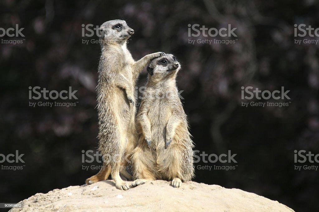 Slender Tailed Meerkats stock photo