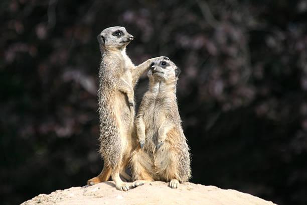 slender tailed meerkats - meerkat stock photos and pictures