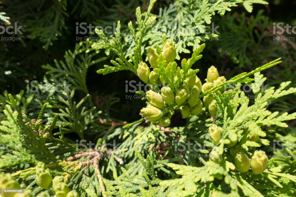 Slender yellow green seed cones of Thuja occidentalis stock photo