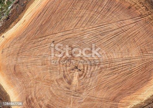 Slice through black walnut tree (Juglans nigra) showing sapwood layer, heartwood, and pith.
