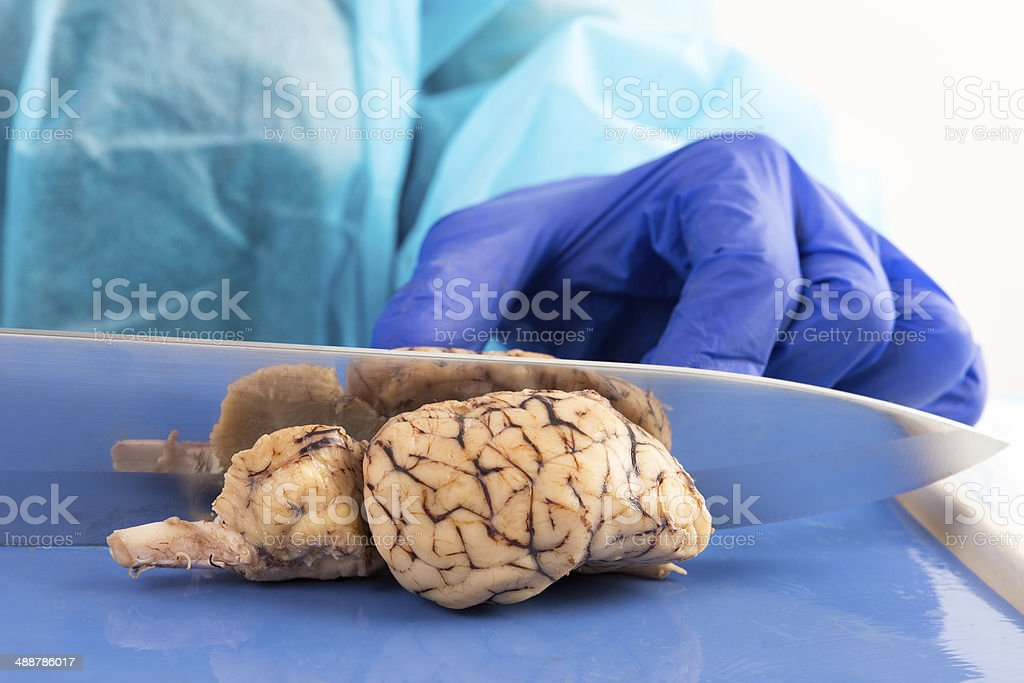 Slicing a cow brain with a blade in anatomy class stock photo
