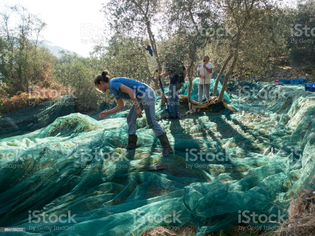 slicing and collecting olives for the production of extra virgin olive oil in a typical terraced countryside campaign of the Ligurian Riviera in Italy. Green harvest nets, olive tree and three workers royalty-free stock photo