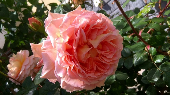Slightly drooping, sumptuous, pink-coral rose flower head against a flowering rose shrub in spring. Fragrant may rose.