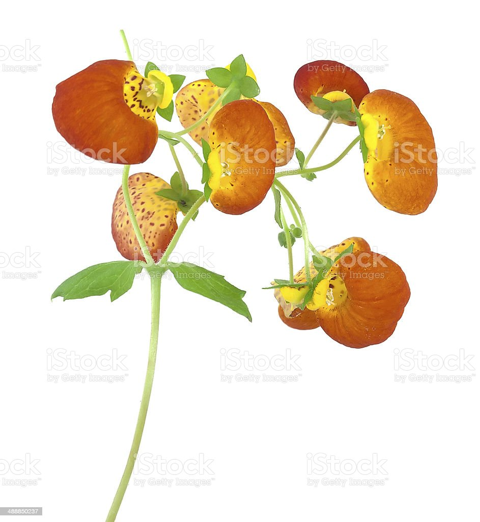 Slipper flower, Calceolaria isolated on white background stock photo