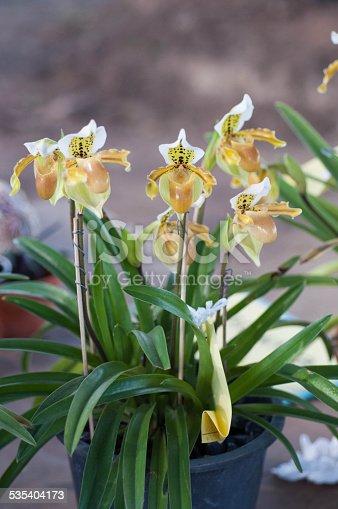 Slipper Orchid Paphiopedilum Leeanum