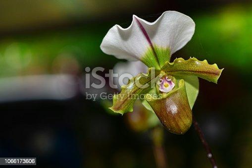 istock slipper orchid (Cypripedioideae Paphiopedilum), 1066173606