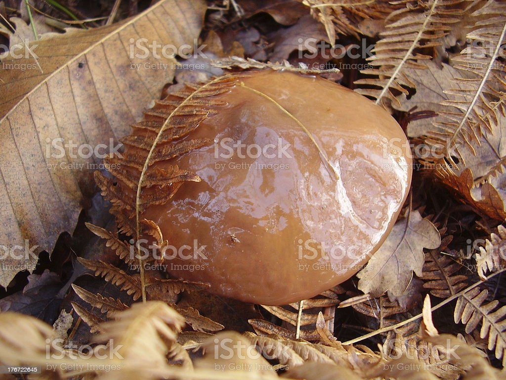 Slippery Jack Mushroom royalty-free stock photo