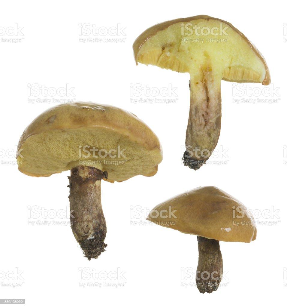 Slippery jack, Suillus luteus edible mushroom isolated on white background stock photo