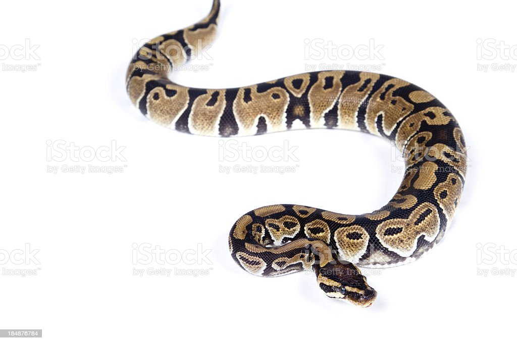 Slithering Snake stock photo