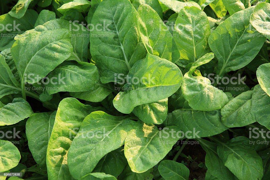 sliverbeet grow in vegetable garden stock photo