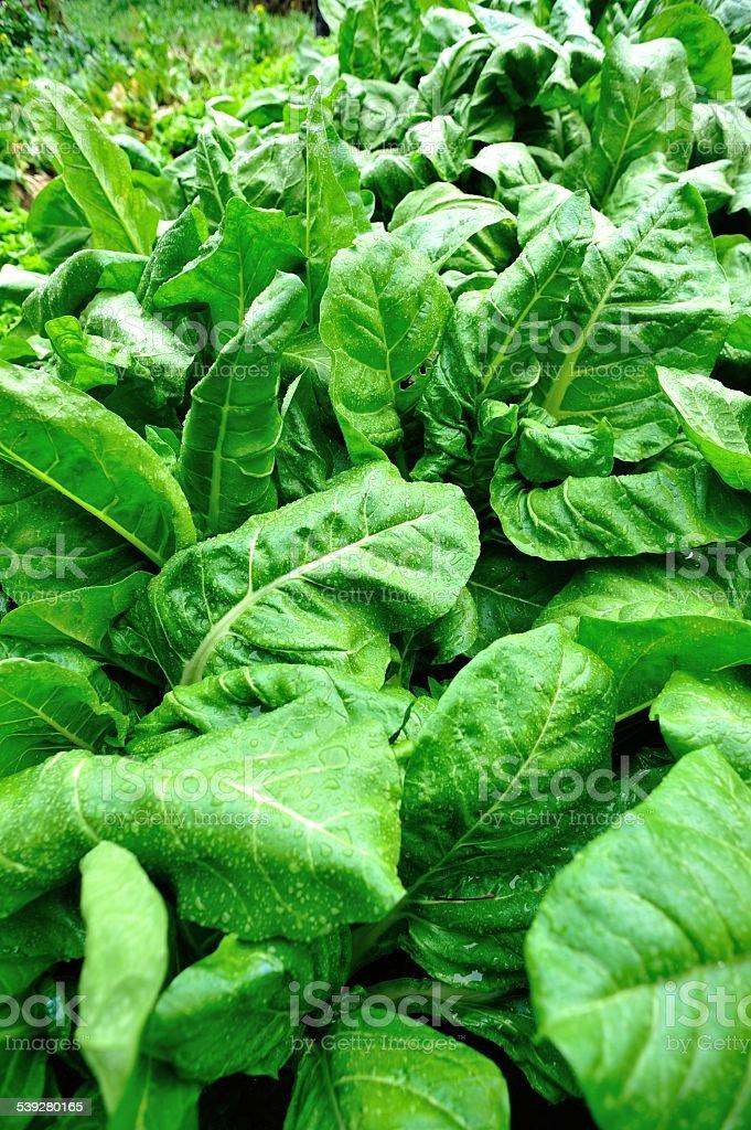 sliverbeet plants in garden stock photo
