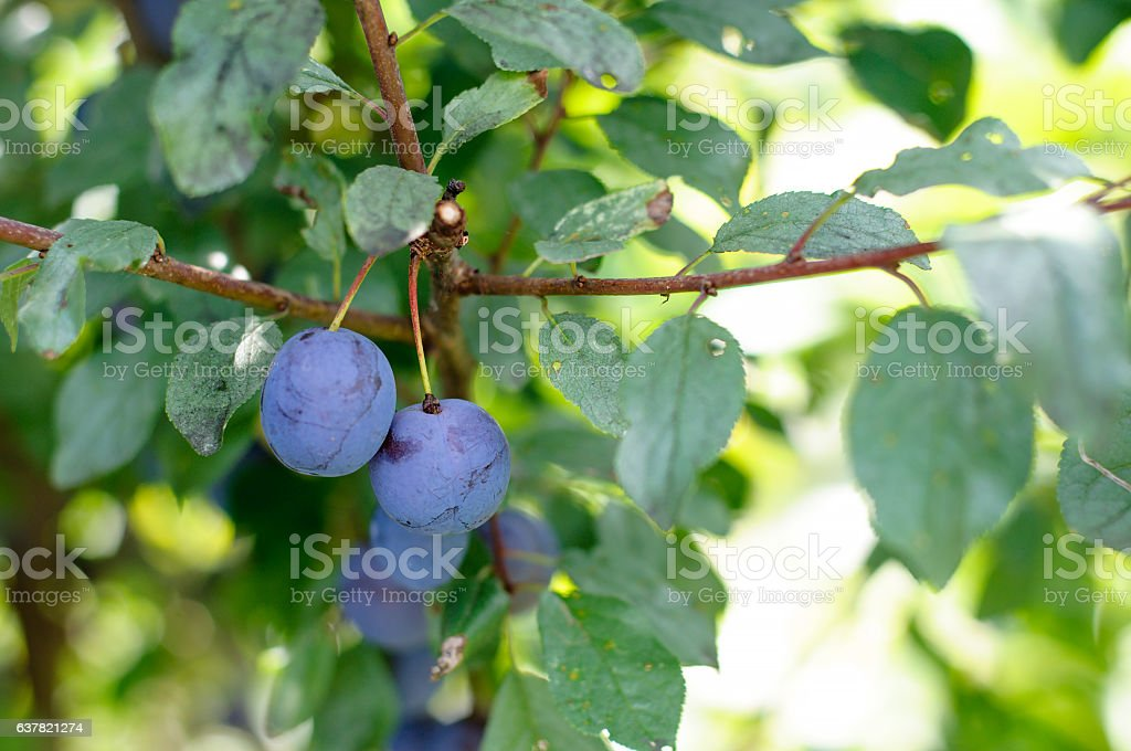 Sloe Fruit at Blackthorn Tree - foto de acervo