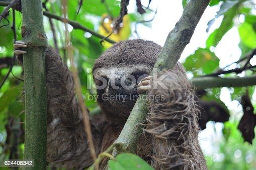 Shot of a three-toed sloth climbing a tree near Iquitos, at the Peruvian Amazon jungle