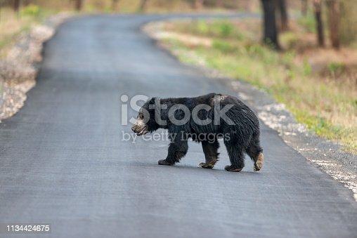 Sloth bear crossing highway near Chandrapur, Tadoba, Maharashtra, India.