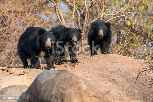 Rare shot of a female Sloth bear with her nearly adult offspring walking on a rock in the last day light. Wildlofe Shot in Karnataka, Southern India.