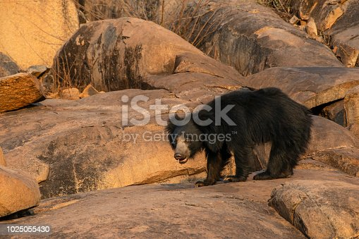 Rare shot of a male sloth bear walking on a rock in the last day light. Wildlofe Shot in Karnataka, Southern India.