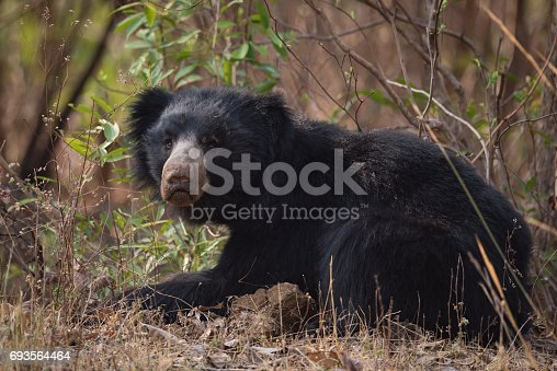 Sloth bear lying in bushes lifts head