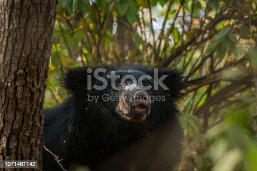 Sloth bear, Melursus ursinus, Ranthambore National Park, India. Wild Sloth bear staring directly at camera, wildlife photo. Wildlife Asia. Animal on the road. Big animal in forest habitat.