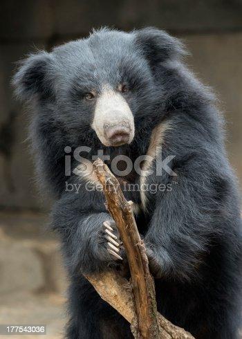 Slolth bear (Ursus ursinus) on a bare branch