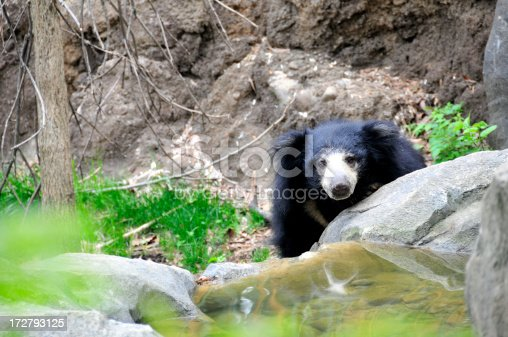 Asian Sloth Bear peeking out over rocks.For more CREATURES (click