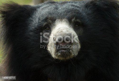 close-up of a sloth bear looking at the camera (Melursus ursinus)