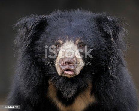 Closeup portrait of a sloth bear (Ursus ursinus)