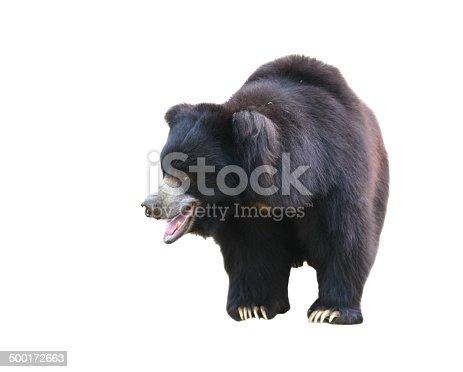 sloth bear or Melursus ursinus isolated on white background