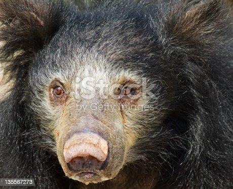 Sloth Bear close-up. Selective focus on eyes.