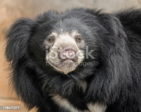 Male sloth bear (Melursus ursinus) closeup portrait
