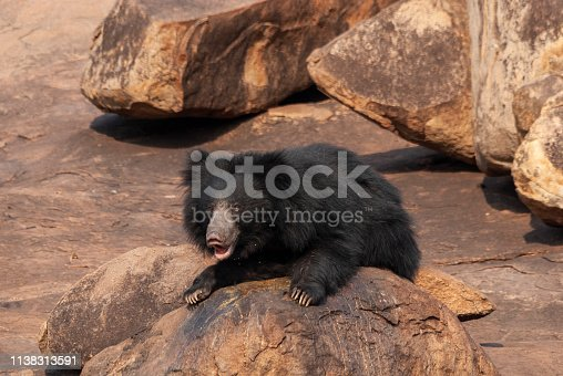Sloth Bear resting on a rocky hill at Daroji Bear Sanctuary,Karnataka,India