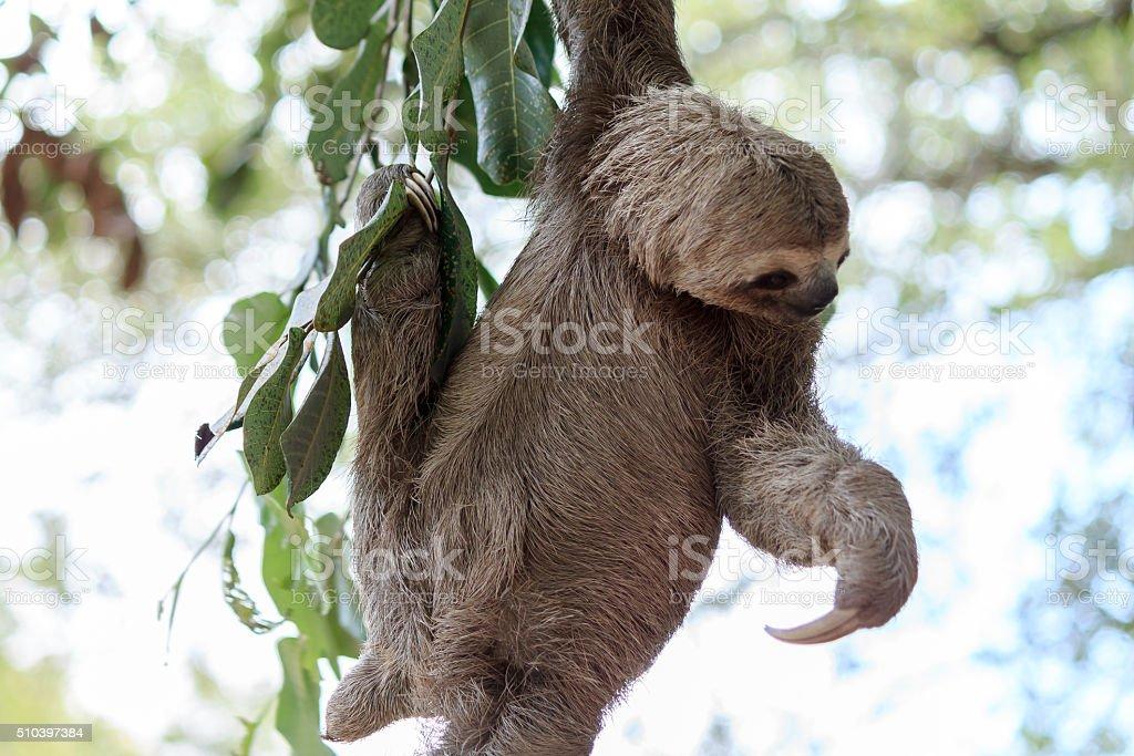 Fotografía de Perezoso Escalada árbol En Naturaleza Reserva En ...