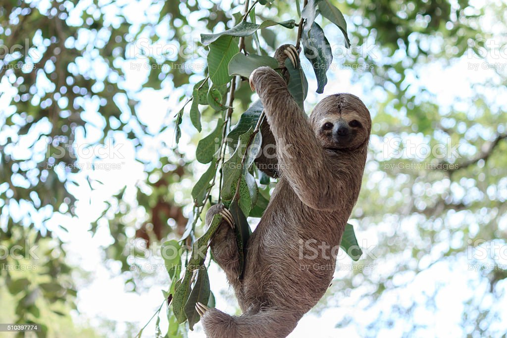 Sloth climbing tree in nature reserve in Brazil stock photo