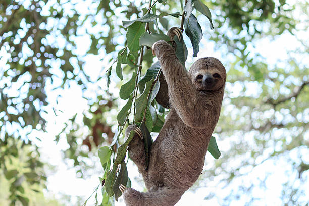 sloth climbing tree in nature reserve in brazil - sloth stock pictures, royalty-free photos & images