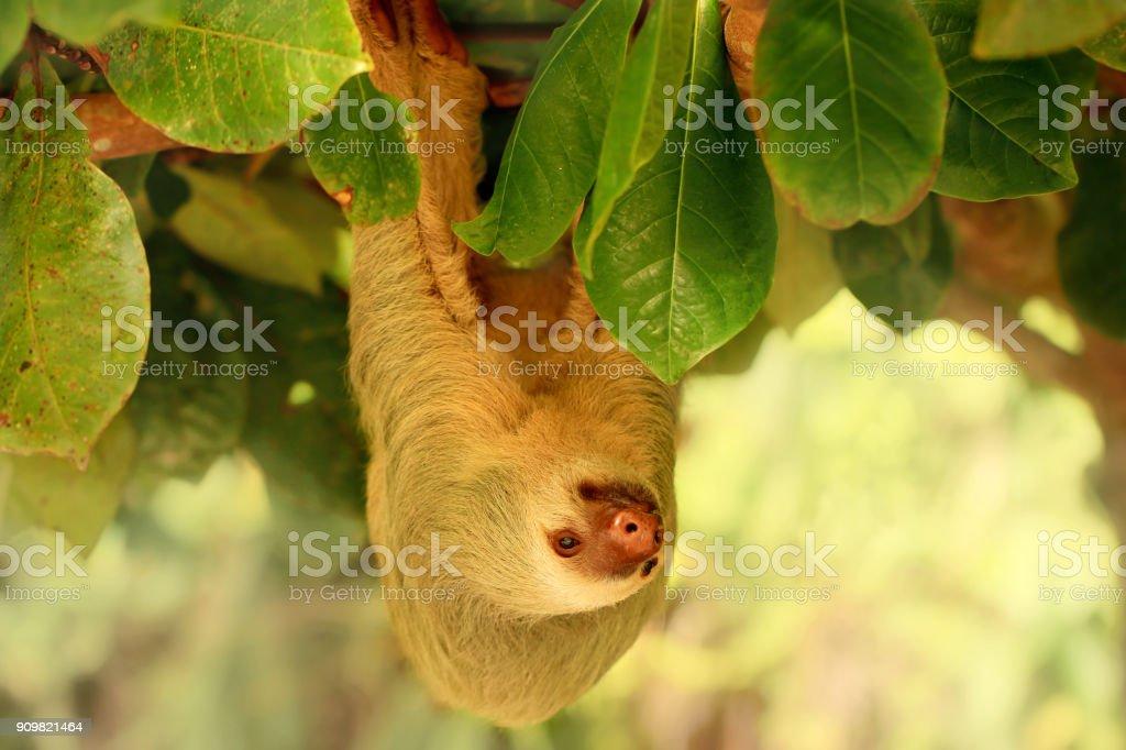 Fotografía de Oso Perezoso Cuelga Del árbol En Costa Rica Perezoso ...