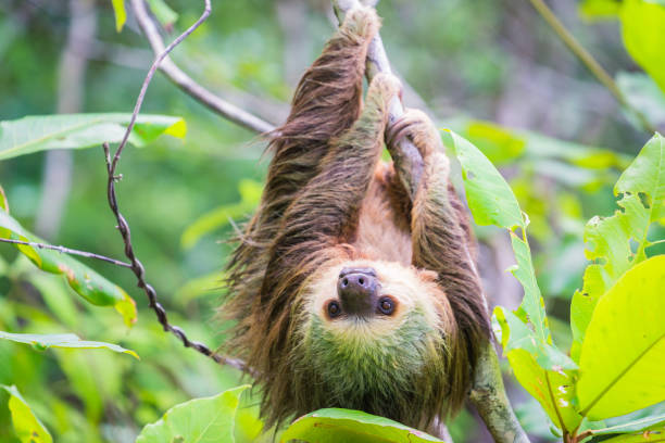 sloth hanging from tree in jungle, panama - sloth stock pictures, royalty-free photos & images