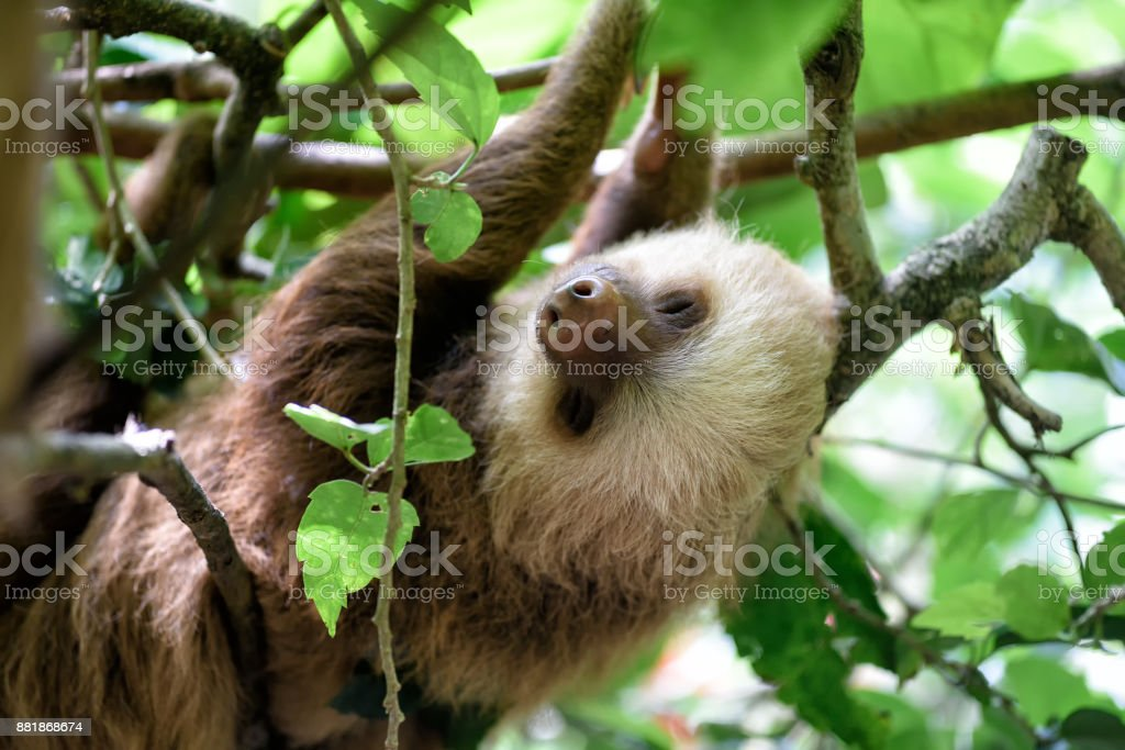 sloth hanging on a tree in the jungle stock photo more pictures of