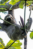 Sloth hanging out in the canopy eating leafs in Tijuca National Forest by Christ the Reedemer