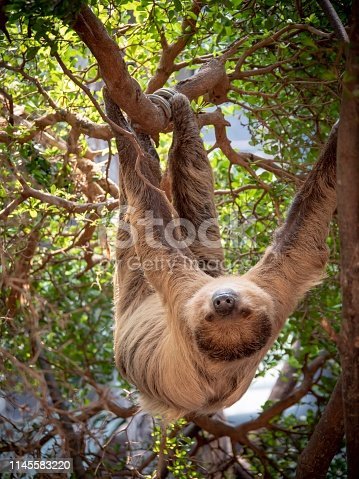 A sloth hanging upside down in the branches of a tree