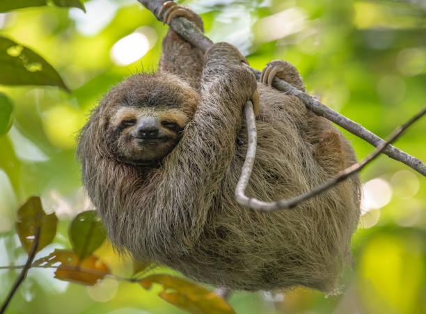 bradipo in costa rica - fauna selvatica foto e immagini stock