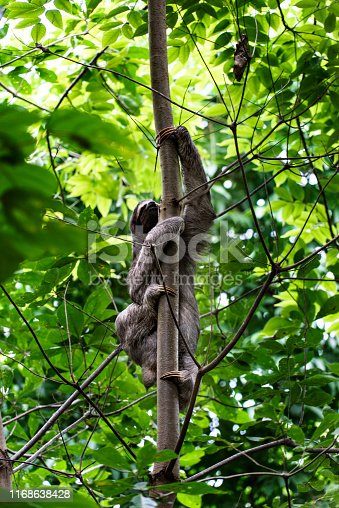 Sloth in Jungle in Panama