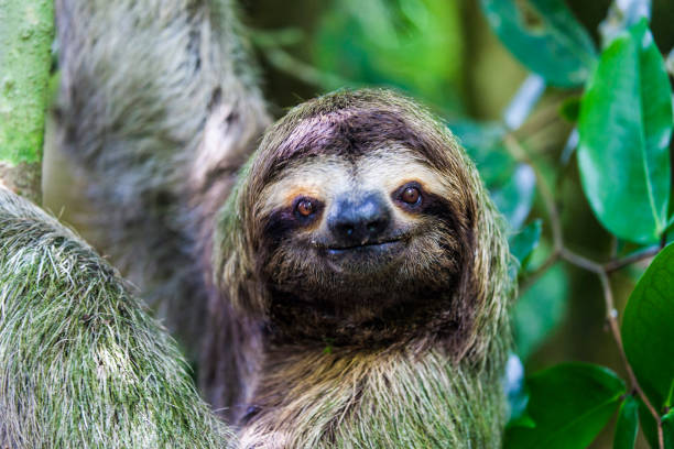 sloth in manuel antonio national park - sloth stock pictures, royalty-free photos & images
