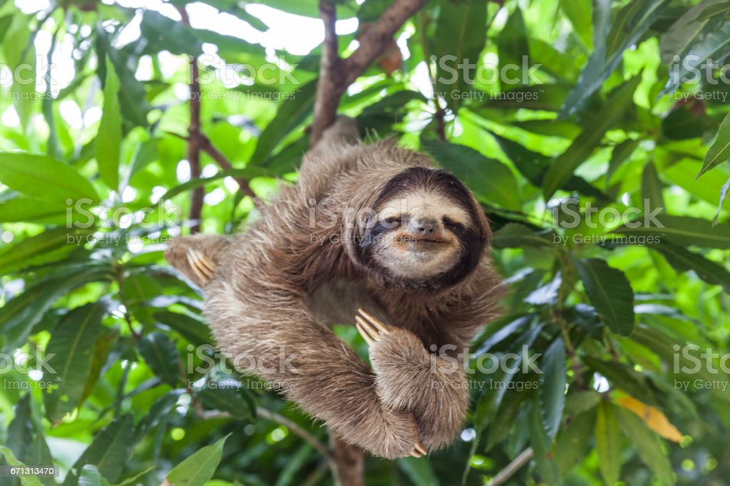 Sloth in Panama stock photo