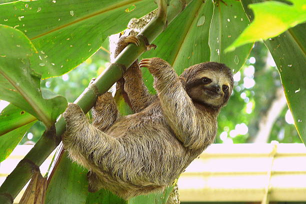 sloth in puerto viejo, costa rica. - sloth stock pictures, royalty-free photos & images