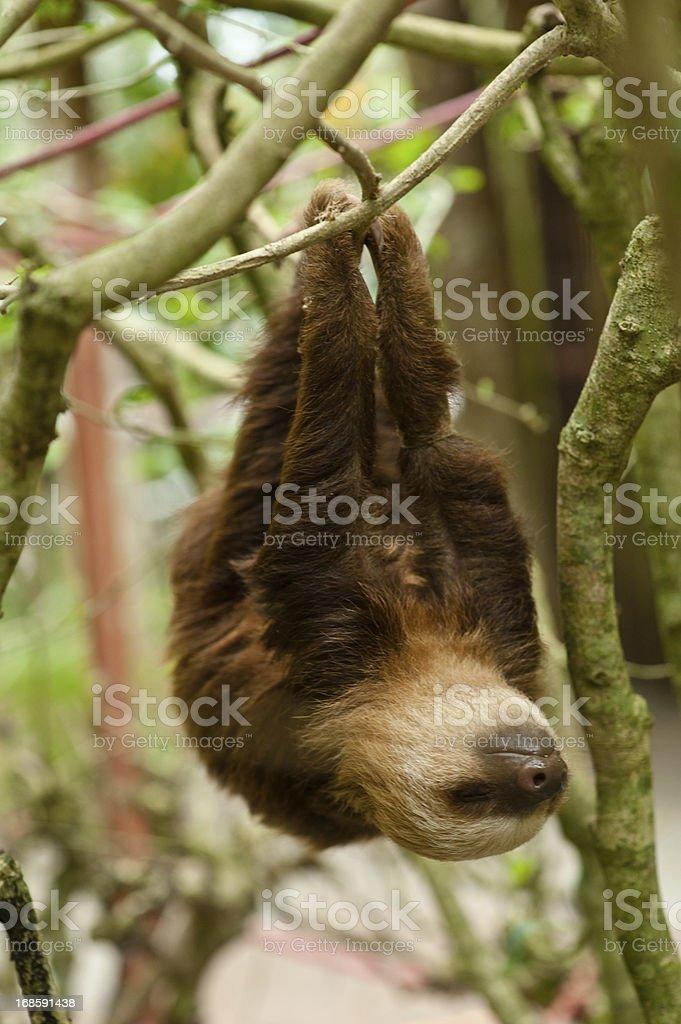 Sloth stock photo