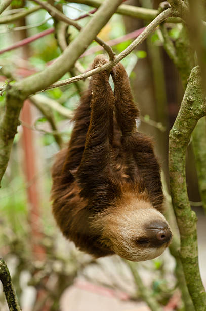 sloth - sloth stock pictures, royalty-free photos & images