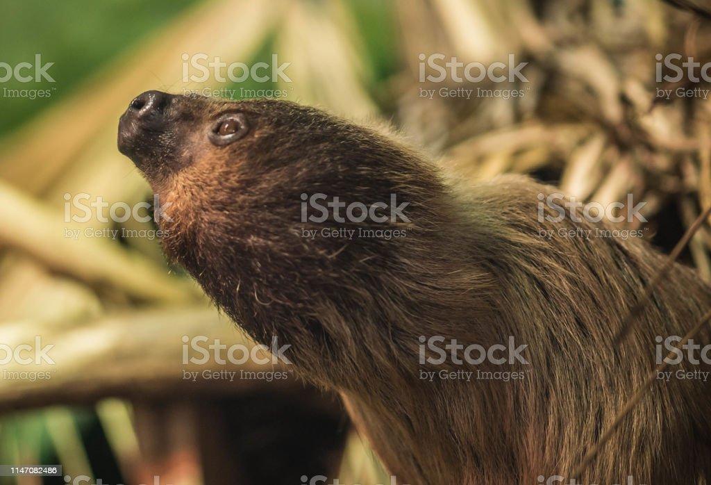 Image of sloth slow-moving tropical American mammal that hangs upside...