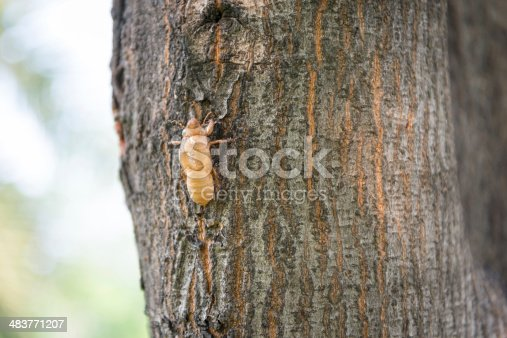 istock Slough off the cicada s golden shell 483771207